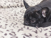 Black french bulldog dog sitting on the sofa look. In the apartment Royalty Free Stock Image