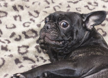 Black french bulldog dog sitting on the sofa looking amazedly. In the apartment Royalty Free Stock Images