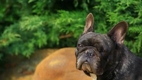 Black french bulldog garden hd footage. Day light stock footage