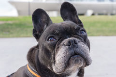 Black french bulldog, looking up pitiful. Big funny ears, asking for food Royalty Free Stock Photo