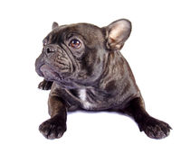 Black french bulldog mix Stock Photo
