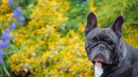 Black french bulldog portrait garden hd footage. Day light stock video footage