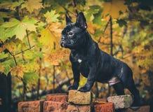 Black French bulldog puppy Royalty Free Stock Photography