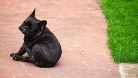 Black french bulldog scratch road hd footage. Day light stock footage