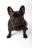 Black French Bulldog Royalty Free Stock Photo