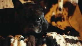 Black french bulldog soap bubbles. Morning stock footage