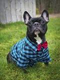 Black French Bulldog Wearing Costume Stock Photo