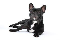 Black french bulldog on white background. stock photo