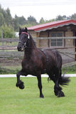 Black friese horse at show Royalty Free Stock Images