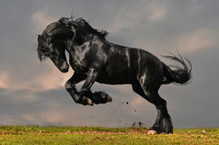 Black friesian horse. Black friesian stallion gallop in sunset Royalty Free Stock Photos