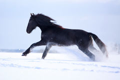 Black Friesian Horse. In winter Royalty Free Stock Photo