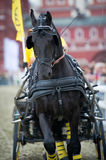 Black friesian horse carriage driving Stock Images