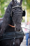 Black friesian horse carriage driving harness outdoor royalty free stock photo
