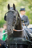 Black friesian horse carriage driving harness outdoor Royalty Free Stock Images