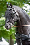Black friesian horse carriage driving harness outdoor Stock Photos