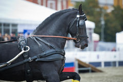 Black friesian horse carriage driving. Portrait black friesian horse carriage driving on gallop royalty free stock photos