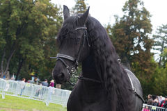 Black friesian horse on equestrian show, head face detail Stock Image