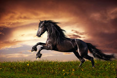Black Friesian horse gallop. Beautiful black friesian stallion running gallop on the field on sunset Royalty Free Stock Photography
