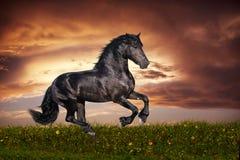Black Friesian horse gallop. Beautiful black friesian stallion running gallop on the field on sunset Stock Photo