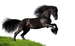 Black Friesian horse gallops, isolated. Black Friesian horse gallops on the green hill, isolated on white background royalty free stock photo