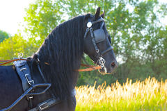 Black Friesian horse in harness in the sunset. Black Friesian horse in harness, sunset stock image