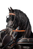 Black Friesian horse head isolated Royalty Free Stock Photos