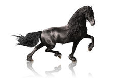 Black friesian horse isolated on white stock photos