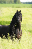 Black friesian horse on the meadow. Black friesian horse portrait on the meadow Royalty Free Stock Photography