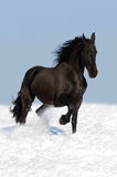Black friesian horse on the meadow. Black friesian horse runs trot in winter Stock Images
