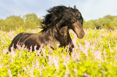 Black friesian horse on the meadow. Black friesian horse runs gallop on the meadow stock image