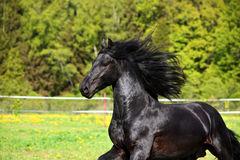 Black friesian horse on the meadow in evening down. Friesian draft horse in evening farm Royalty Free Stock Images
