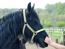 Black friesian horse. Northern Bohemia stock photos