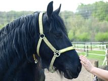 Black friesian horse. Northern Bohemia stock images