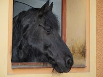 Black friesian horse. Northern Bohemia royalty free stock photography