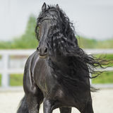 Black Friesian horse, portrain in motion. In summer stock photos