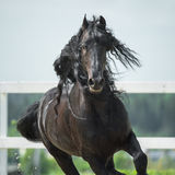 Black Friesian horse, portrain in motion Royalty Free Stock Image