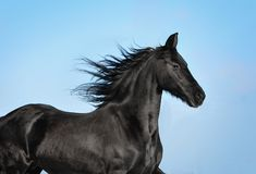 Black friesian horse portrait in motion. The black friesian horse portrait in motion royalty free stock photography