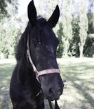 Black friesian horse portrait in green field. Summer background stock photography