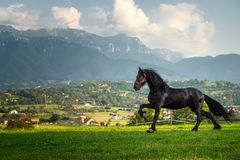 Black friesian horse running at the mountain farm in Romania, black beautiful horse. Black friesian horse running at the mountain farm in Romania royalty free stock photo
