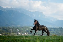 Black friesian horse running at the mountain farm in Romania, black beautiful horse. Black friesian horse running at the mountain farm in Romania stock photography