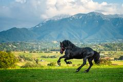 Black friesian horse running at the mountain farm in Romania, black beautiful horse. Black friesian horse running at the mountain farm in Romania stock photo
