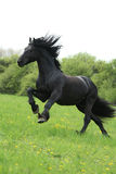 Black friesian horse runninng on pasturage
