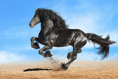 Black Friesian horse runs gallop. In freedom Stock Image