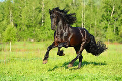 Black Friesian horse runs gallop in freedom Stock Image