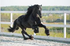 Black Friesian horse runs gallop in summer. Friesian horse runs gallop in summer Royalty Free Stock Image