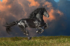 Black Friesian horse runs gallop in summer time Stock Photo