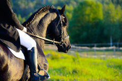 Black Friesian horse in the sunset with rider Stock Images