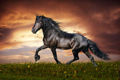 Black Friesian horse trot Stock Photos