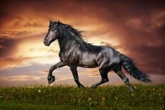 Black Friesian horse trot. Beautiful black friesian stallion running trot on the field on sunset Stock Photos