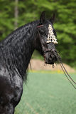 Black friesian mare in spring Royalty Free Stock Photos